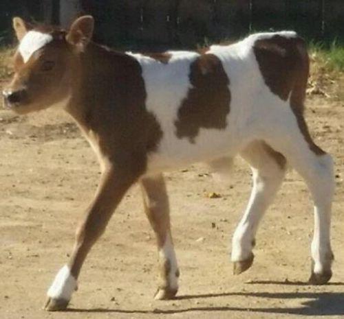 Miniature Jersey Bull Calf For Sale Cattle Dairy Farm