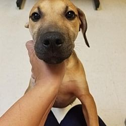 Pictures of Titus a Pit Bull Terrier for adoption in Dallas, GA who needs a loving home.