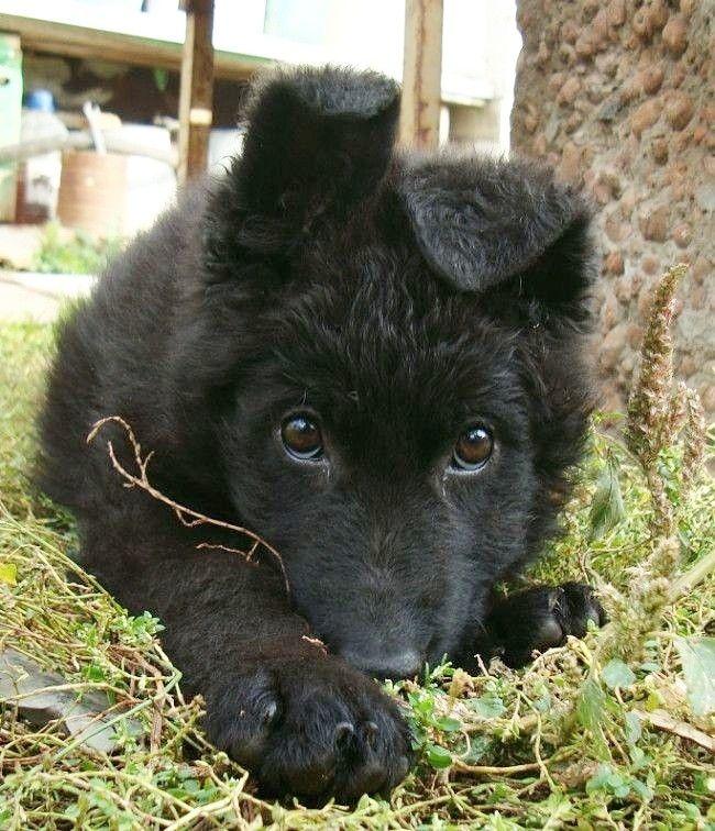 Pin Von Barbara Rathmanner Auf Black Schafehunde Schwarzer Schaferhund Schaferhunde Hunde