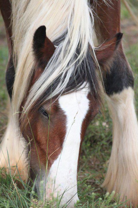 nike jordan outlet uk Draft horse   Horses      Draft Horses  Horses and Gypsy