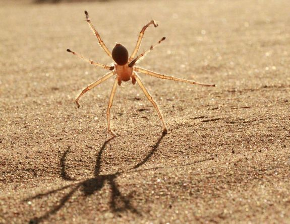 Cartwheel spider- in defense it cartwheels down the Sand Dunes to escape predators.