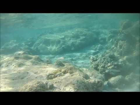 рыбы красного моря каталог, Длинный губан,  Cheilio inermis