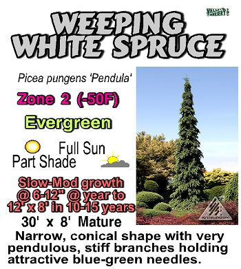 Valley Nursery Inc. - Picea (Spruce) weeping white spruce