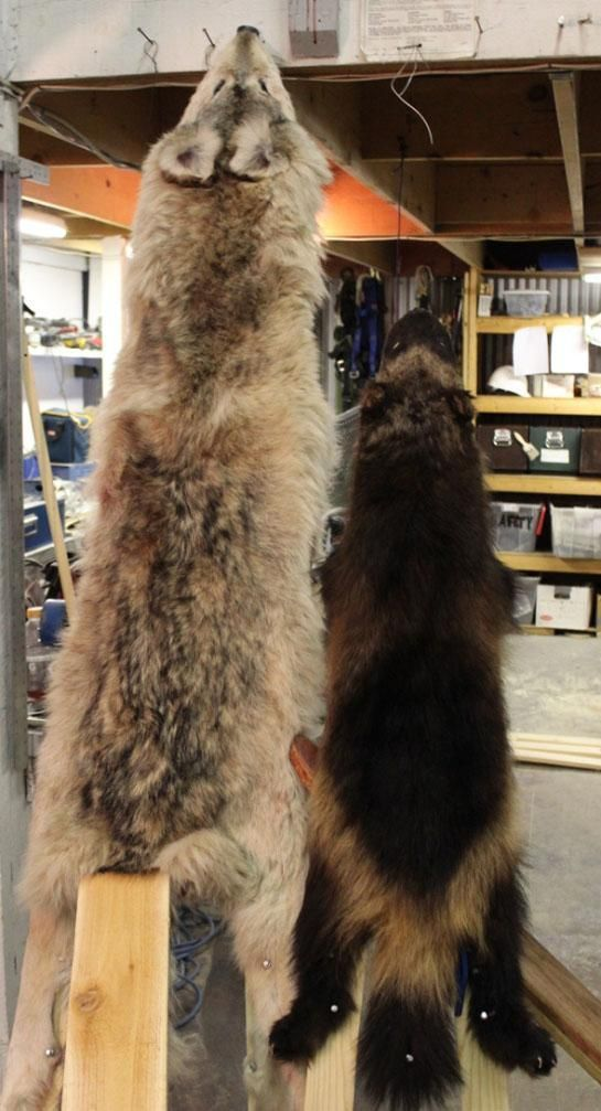 Predator Hunting and Trapping: How to Stretch Hides | Outdoor Life