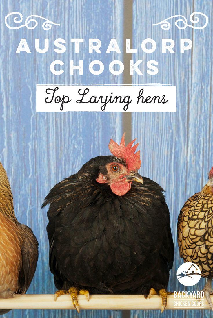 31 best australorp chickens images on pinterest australorp