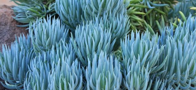 Blue Chalk Sticks Succulent to match with my blue fescue grass layered between bright green and purple succulents
