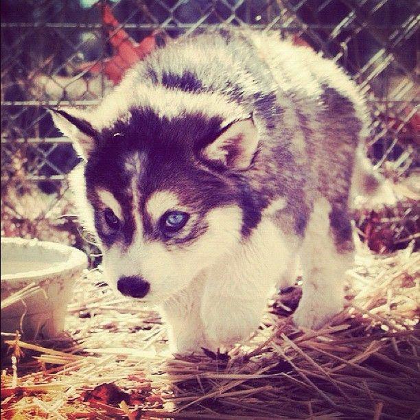 hi guys, this is my future dog. pomsky = husky + pomeranian. #pomsky #puppy #presh #ca | OnInStagram