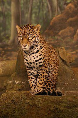 A onça-pintada (Panthera onca), onça, jaguar ou jaguaretê é um mamífero da ordem dos carnívoros, membro da família dos felídeos, encontrada nas regiões quentes e temperadas do continente americano, desde o sul dos Estados Unidos até o norte da Argentina, incluindo o Brasil, sendo um símbolo da fauna brasileira.