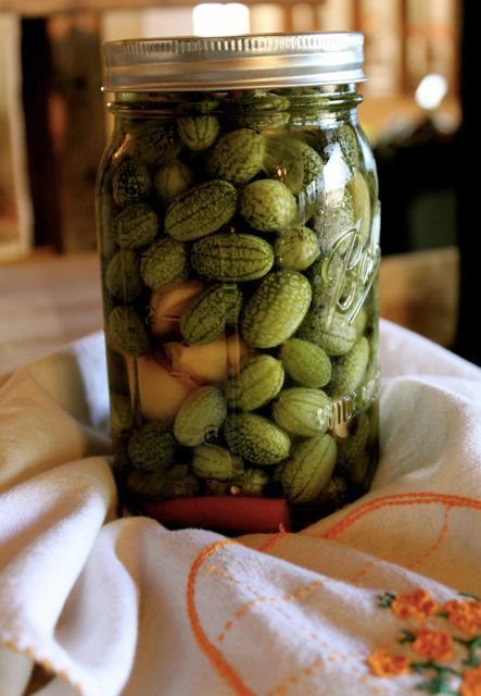 Sour gherkins are easy to grow, easy to pick, easy to pickle, and perilously easy to eat! Here are growing instructions and my refrigerator pickle recipe!