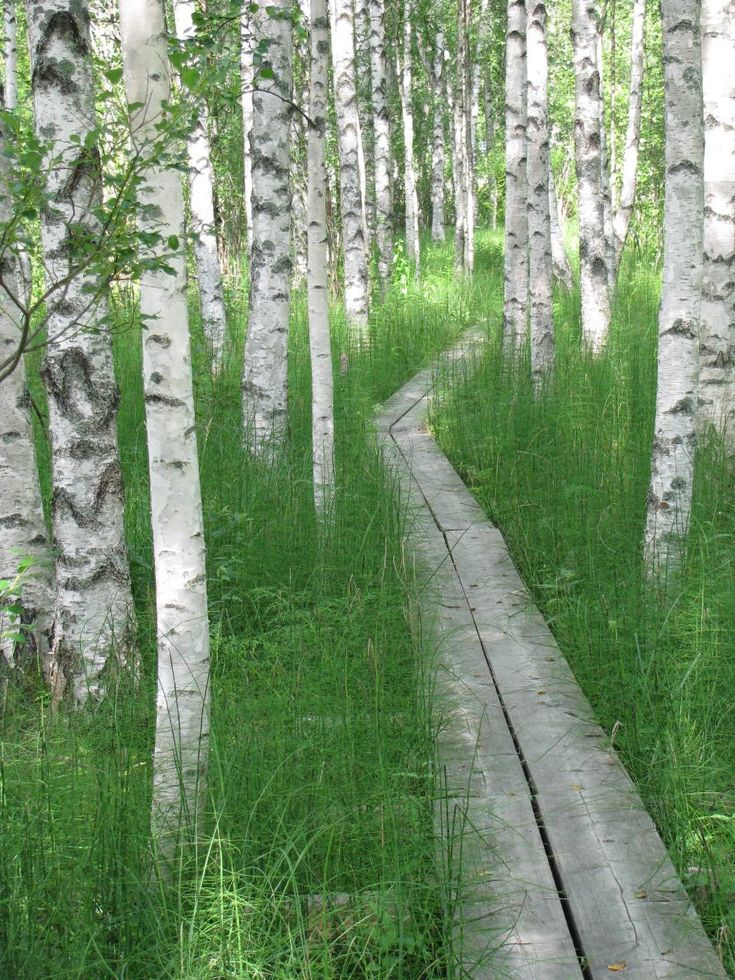 A birch forest in Finland. Love the long grass either side of a narrow walkway.