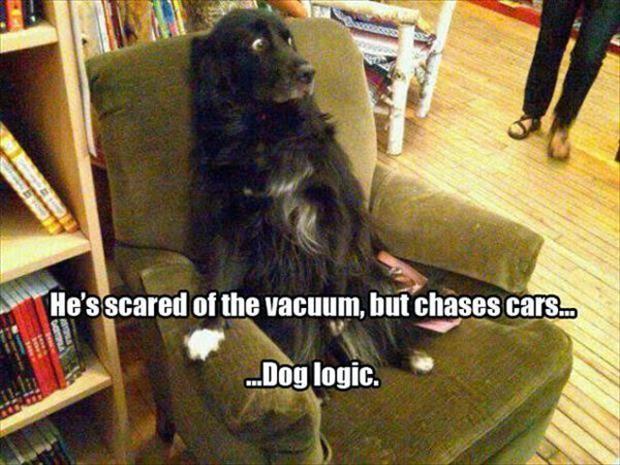 Funny dog logic, chases cars.