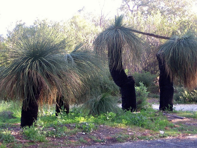 """Blackboys""...Kings Park, Western Australia.."