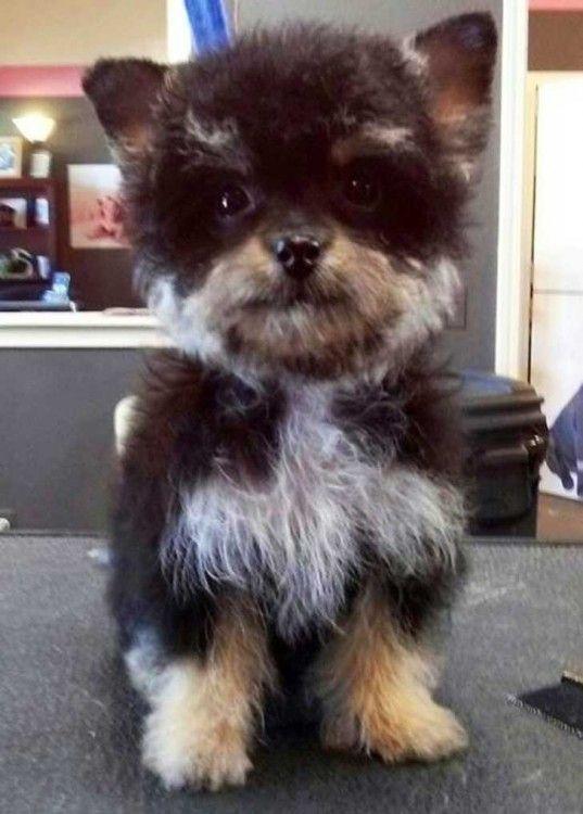 perro yorkie cruzado con french podle