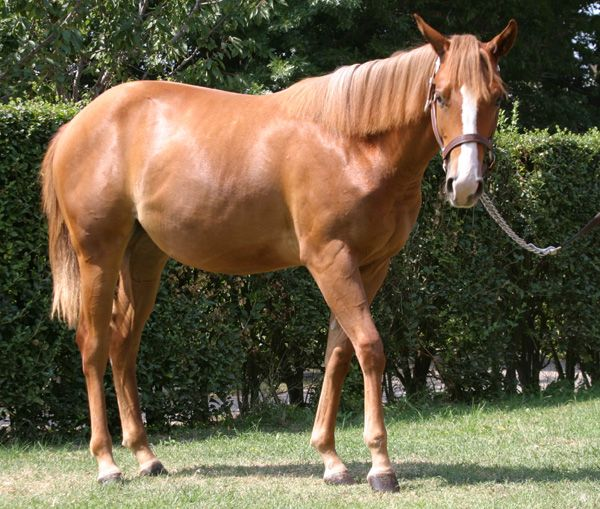 Oak Amber nice reining mare