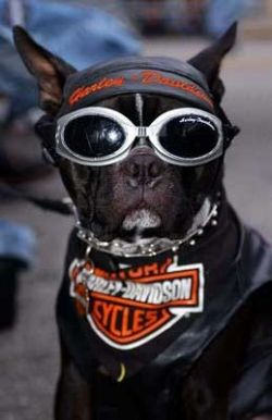 Does your dog have what it takes to be a Harley Davidson Dog?    To be a genuine Harley dog, your pup will need attitude, courage and all the right...