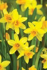 Narcissus Tete-a-Tete - Daffodil Bulb