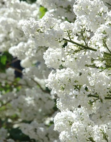 white lilacs...I can just imagine the smell:)