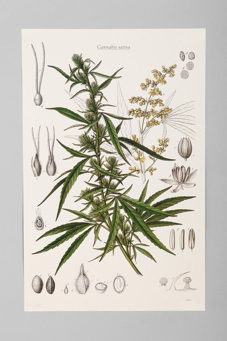 I swear I want this solely because I thirfted a set of flower drawings in this style.    Cannabis Botanical Poster