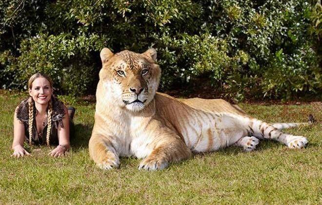 Mews Largest Living Cat Katzenworld Large Cat Breeds Cats Big Cats