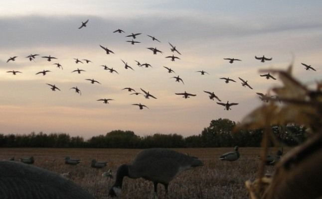 Can't wait to see this again waterfowl hunting | ... waterfowl hunting in saskatchewan, goose hunts, duck hunts, waterfowl