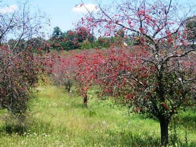 Cherry orchard in Ludington, MI.