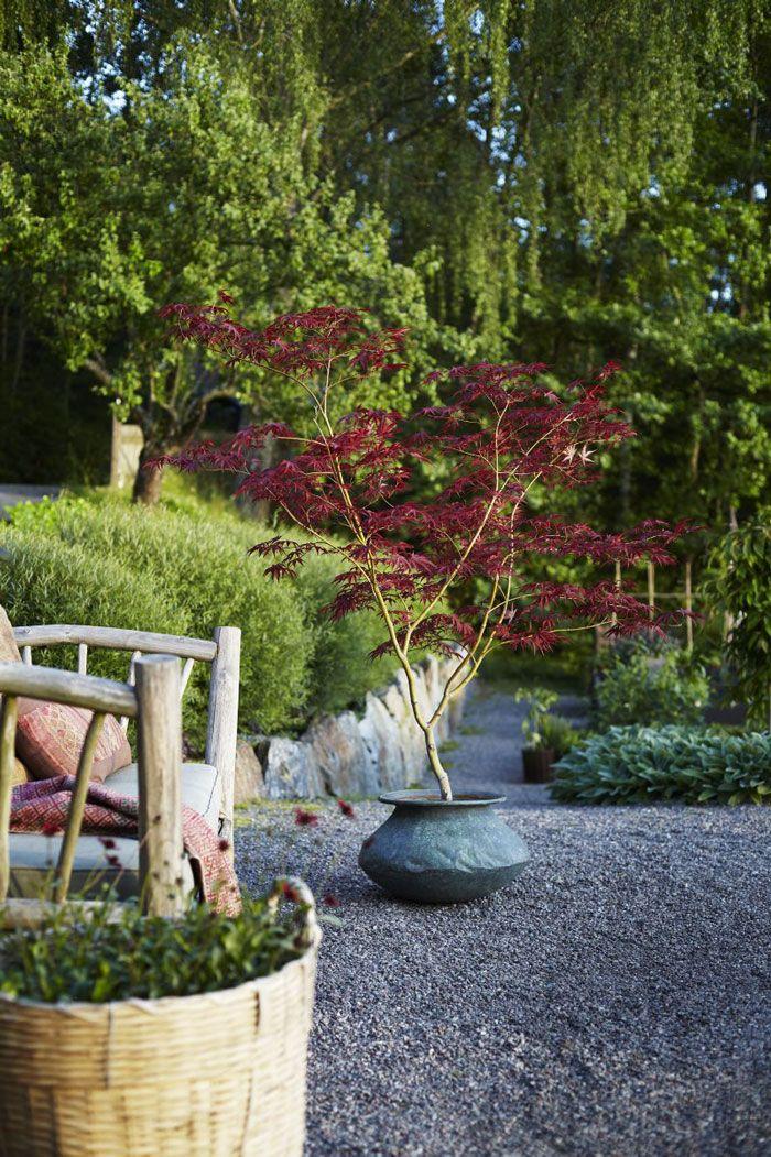 Formklippta rödviden (Salix purpurea 'Nana') växer som en häck i slänten. Rödfärgade grentoppar på hösten. Mellan rödvidsbollarna växer dvärgsyren, (Syringa meyeri 'Palibin'). I förgrunden bredvid bänken en japansk lönn, Acer palmatum 'Garnet' i kopparkruka. Den får vattnas en gång per dag under sommaren.