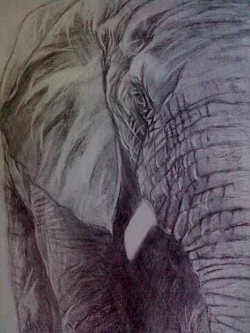 African elephant, created by Samuel Friday,charcoal on A3  thick paper.