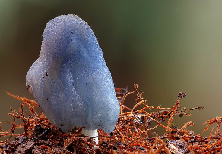 Blue Leratiomyces were first discovered in New Caledonia and then on Lord Howe Island. But this is the first recorded appearance on mainland Australia (and they are Steve's favourite fungi). Image by Steve Axford.