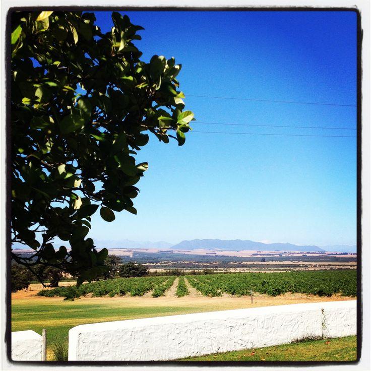 Kloof vineyard