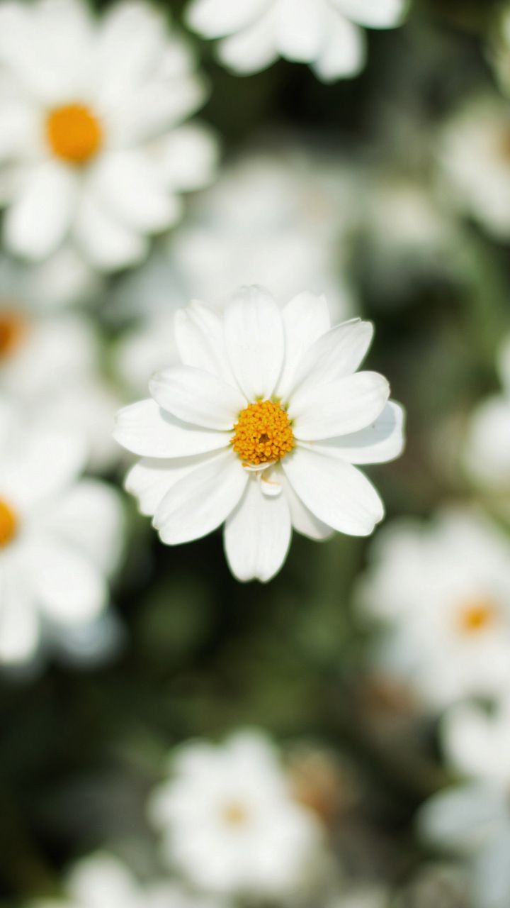 Blur Bloom White Daisy Flowers 720x1280 Wallpaper Flowers
