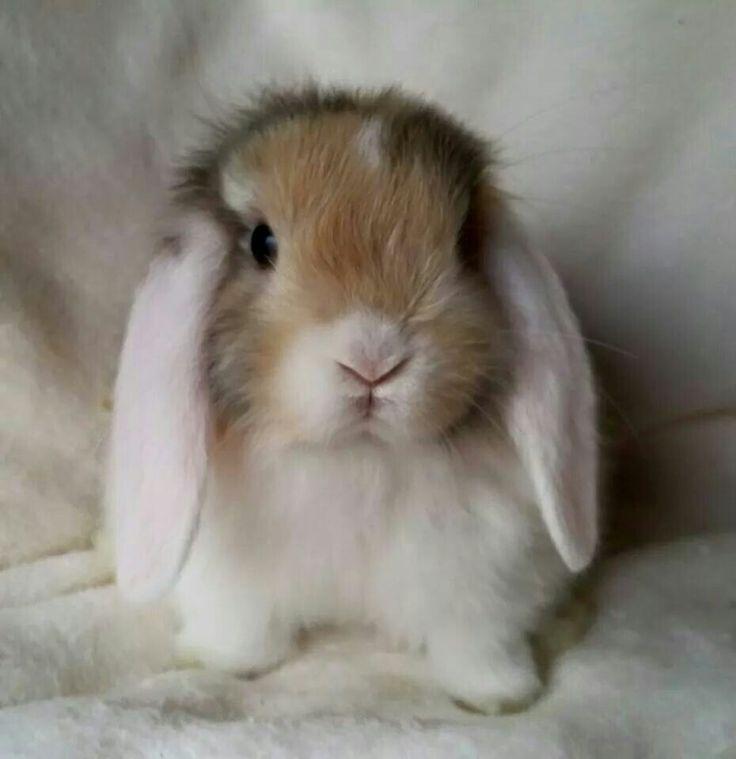 White Eared Harlequin Mini lop Buck