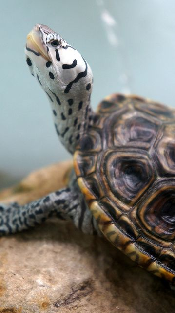 earthandanimals:    theanimaleffect:    mississippi river museum and aquarium by asp_ on Flickr.      Concentric Diamondback Terrapin!