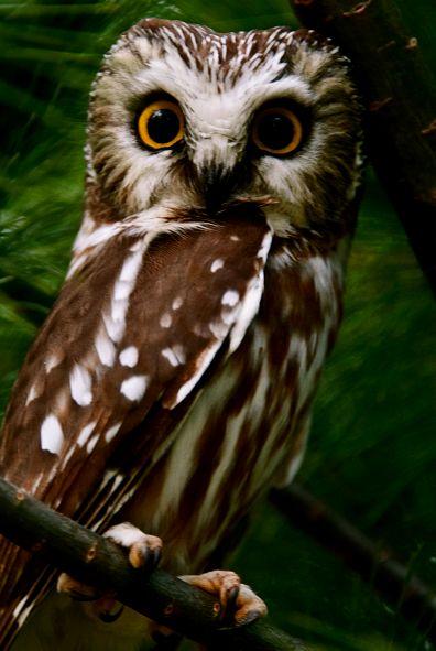 : Cute Amazinganimals Stuff, Owl S Wisdom, Northern Saw Whet, Awesome Owls, Mussols Owls, Wise Owls, Art Owls, Hoot