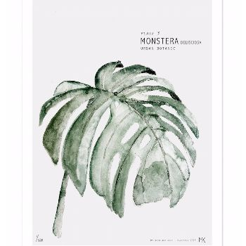 Monstera (Monstera deliciosa) is Plate 3 in the Botanic Urban series of unframed art prints of watercolours by artist M. Koster and supplied by My Deer Art of the Netherlands.  -Limited edition of 500 -Signed by artist with handwritten numbering -The art print is sold unframed -Shipped in a cardboard tube