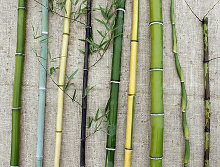 Variation in bamboo is mainly in the culms, as shown by this selection from Little Acre Farm in Howell Township. From left - Phyllostachys aureosulcata Phyllostachys glauca Phyllostachys aureosulcata aureocaulis, golden crookstem Phyllostachys nigra, black bamboo Phyllostachys nuda Phyllostachys aureosulcata spectabilis Phyllostachys dulcis, sweetshoot bamboo Pseudosasa japonica 'Tsutsumiana', green onion bamboo Phyllostachys glauca yunzhu.