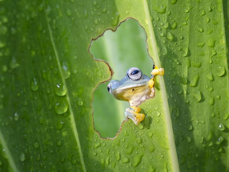A frog peeping through a hole in the leaves, looking for a sun.