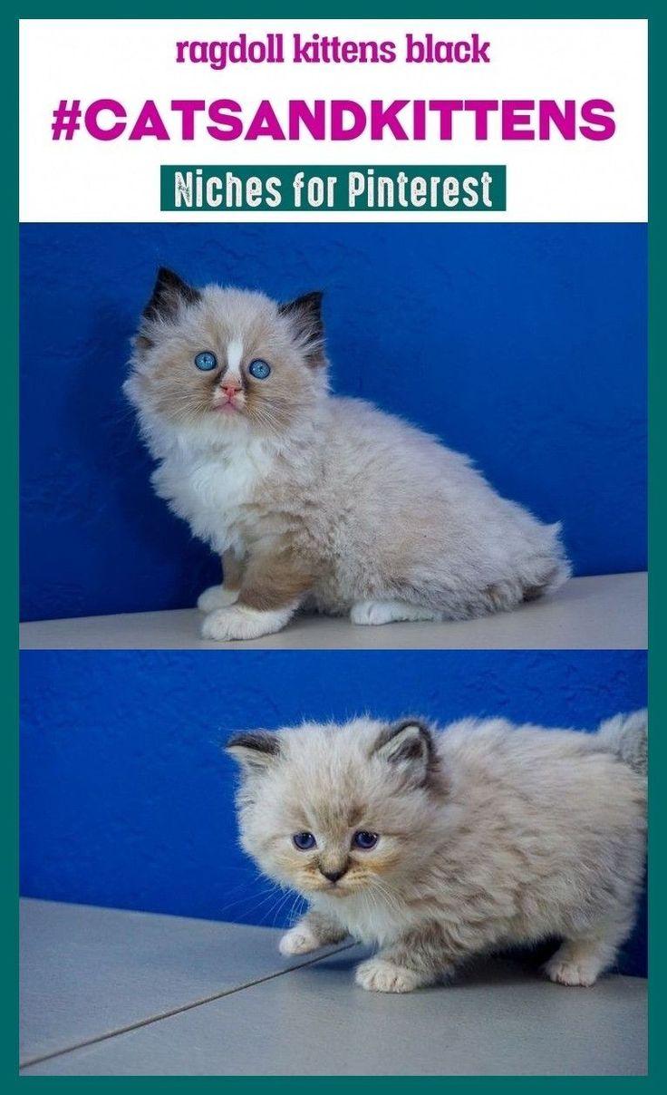 Ragdoll kittens black catsandkittens pinterestseo seo