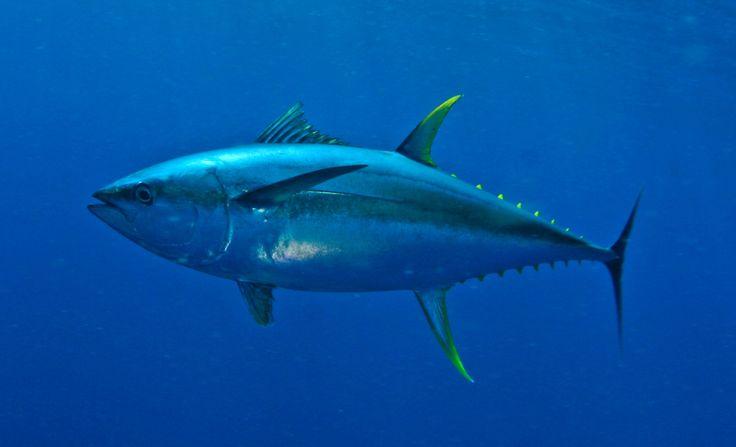 Fishing charters yellowfin tuna cape town offshore for Tuna fishing trips