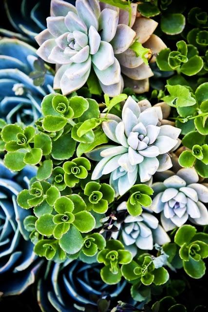 Group succulent planting; colour contrast