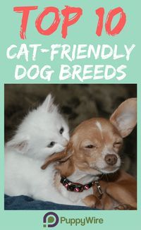 Worried if your dog will get along with a cat? Check this list to see if your dog is one of the top 10 cat friendly dog breeds.