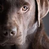 Terrific article for any pet parent who has lost a pet = Perfect Dog Syndrome - we love the dogs we have lost, but we must love anew    #petMD: Animals, Chocolate Labrador Retriever, Chocolates, Chocolate Labs, Beautiful Chocolate, Beautiful Lab, Labrador Retrievers, Beautiful Dogs