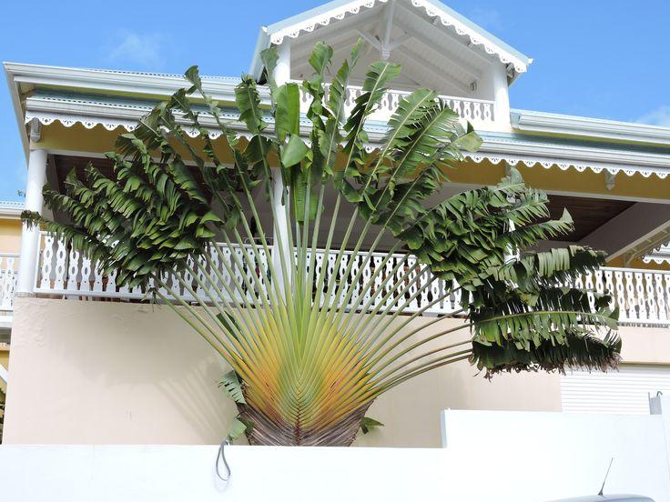"""Un """"arbre du voyageur"""". #Guadeloupe #Antilles #France"""