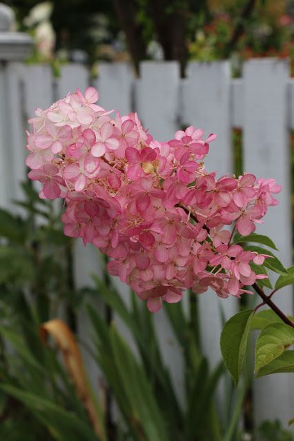 oh my goodness itu0027s been a crazy summer i am excited to share with - Vanilla Strawberry Hydrangea