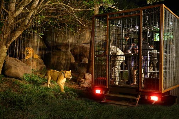 Night safari, Bali safari and marine park ~ the visitor is the one in the cage, must be the a nice sight for the lion ..lol