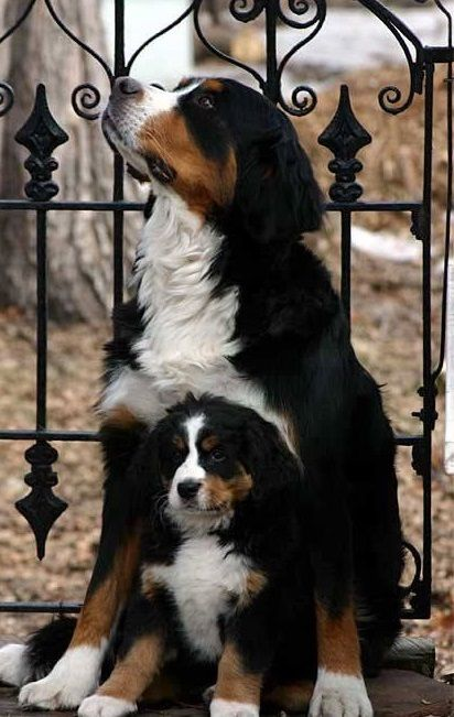 Bernese Mountain Dog - strong, highly intelligent, gentle demeanor, loyal, sensitive, great with kids, and loves the snow!