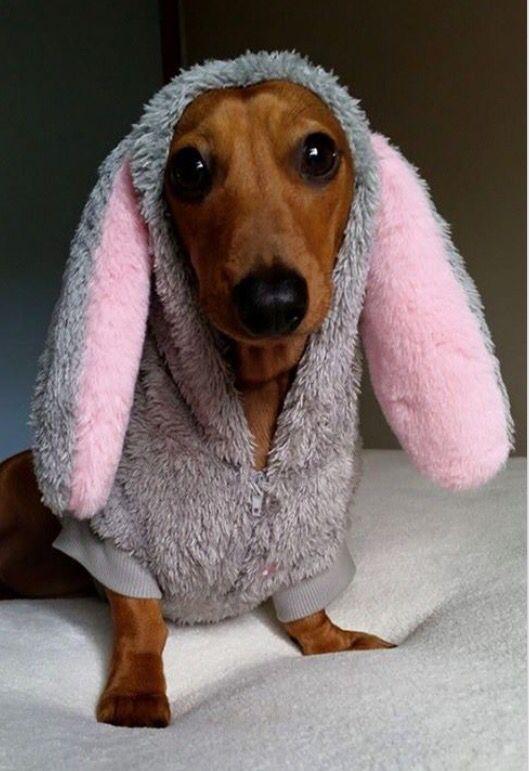 .cute bunny dachshund.