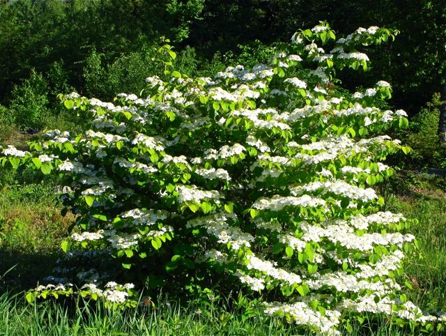 Viburnum p.t ~ sounds like a wonderful plant. Perhaps under one of the front windows? Or along the back fence?