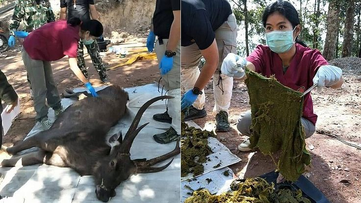 FOX NEWS Thailand deer dies after eating 15 pounds of