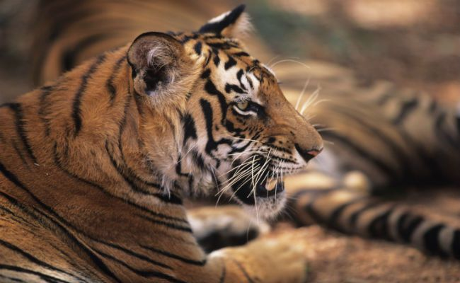Scientists Say We Can Double the World's Tiger Population by 2022