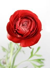 red ranunculus!!! I may have found my new favorite flower.